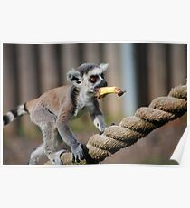 Baby lemur carries banana Poster