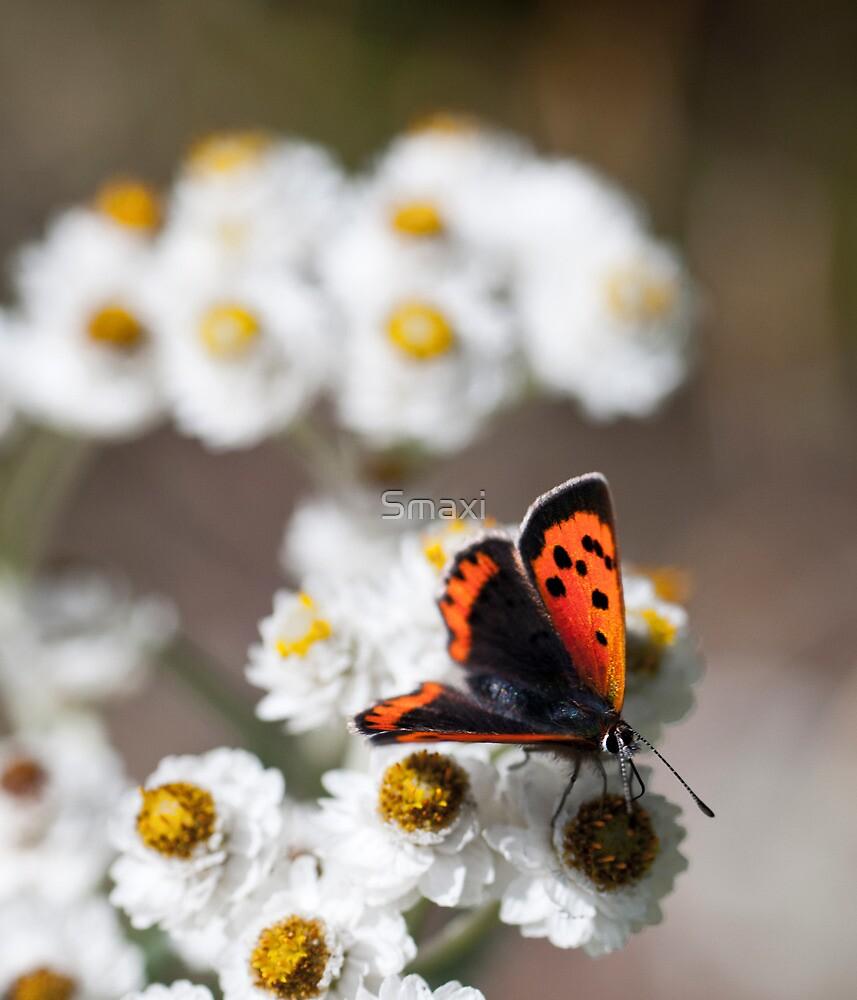 Small Copper Butterfly by Smaxi