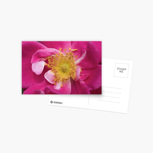 Bright pink rose Postcard
