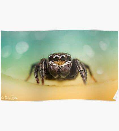 Salticidae (Unknown I.D) Poster