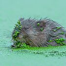 Muskrat eating Duckweed by (Tallow) Dave  Van de Laar