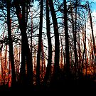 Forest after the fire by Christine Ford