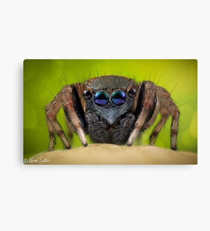 'Jotus sp.' Salticidae  Canvas Print