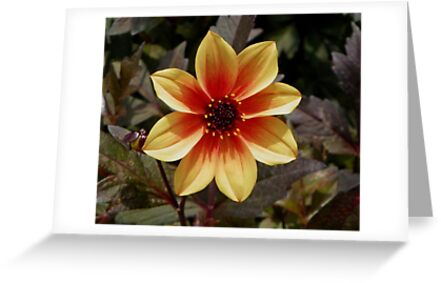 Dahlia on Display by mussermd