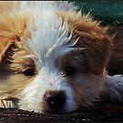 Border Collie Puppy  by dedakota