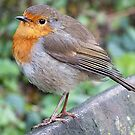 Robin Redbreast by beracox