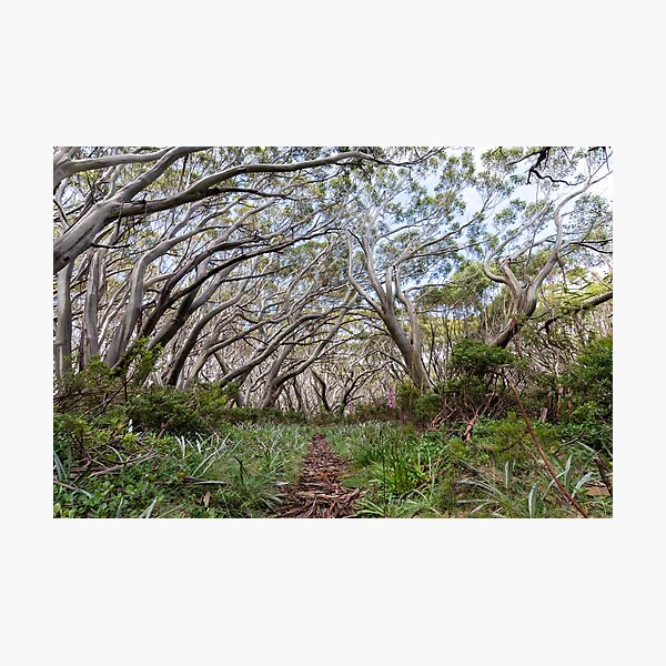 Snow Gums on the Baw Baw Plateau Photographic Print