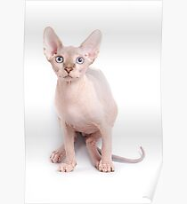 Sphinx kitten with blue eyes Poster