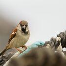 Male House Sparrow on Lobster Pot by kernuak