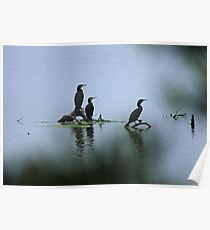 Great Cormorants  Poster