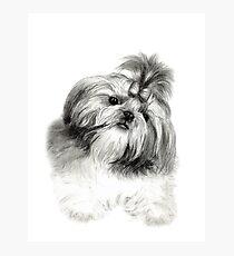 Shih Tzu Puppy Photographic Print