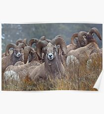 Resting Rams Poster