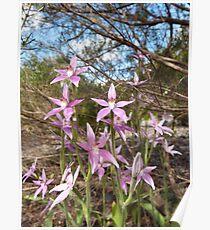 Caladenia latifolia -  Pink Fairy Orchids, King's Park, Perth, WA Poster