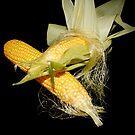 Fresh Corn on the Cob by AnnDixon