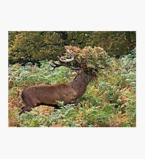 Red Stag Wearing A Fern Fedora Photographic Print