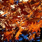 More Orange Leafs by SBPhoto2011