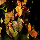 Leafs Turning to Red by SBPhoto2011