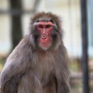Japanese Macaque by margotk