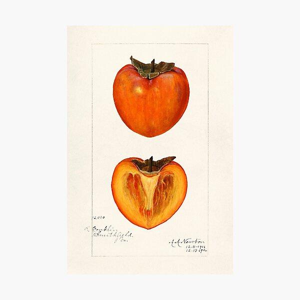 vintage persimmons illustration Photographic Print
