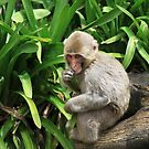 Juvenile Japanese Macaque by margotk