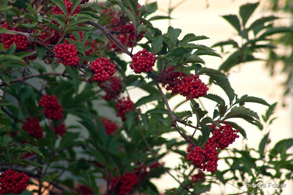 Elderberries by Sandra Foster