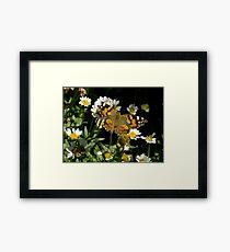 Meadow Argus on Chalet Daisies Framed Print