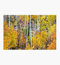Aspen Tree Magic Photographic Print