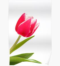 Single pink tulip Poster