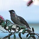 Red Wattlebird by Julie Sherlock