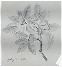 pencil sketch - study of leaves 1880 Poster