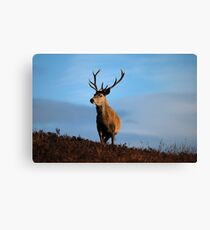 Highland Stag Canvas Print