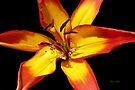 Red and Yellow Lily by LoneAngel