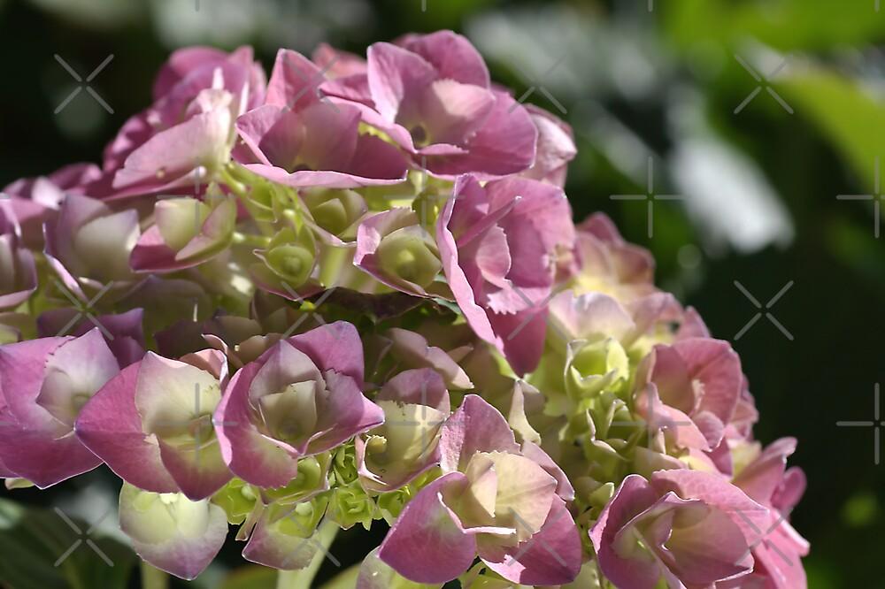 Pink Hydrangea by Joy Watson