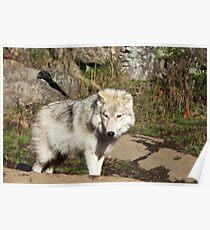 Arctic Wolf - Parc Omega, Quebec Poster