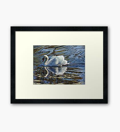 Swan on a Clear Day Framed Print
