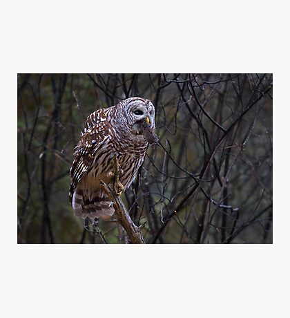 Barred Owl with vole Photographic Print