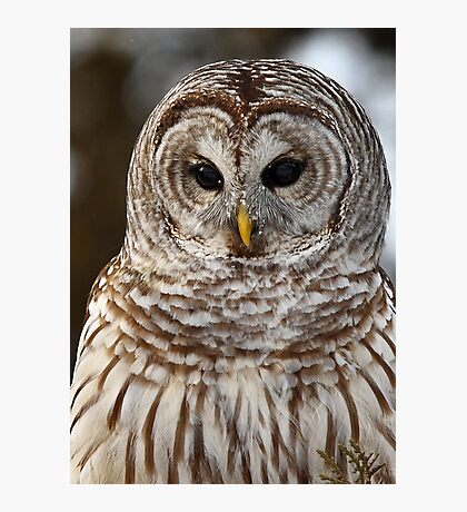 Barred Owl closeup Photographic Print