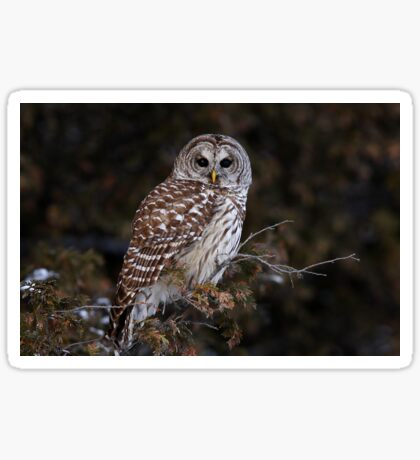 Barred Owl - Kanata Sticker