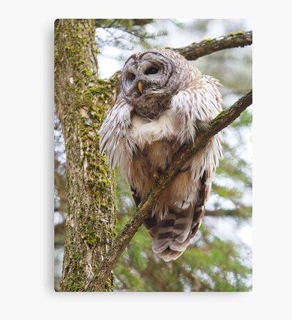 Cool Owl - Barred Owl Canvas Print