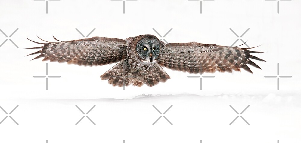Silent Hunter - Great Grey Owl by Jim Cumming