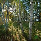 Maine Birch Trees by Robert H Carney