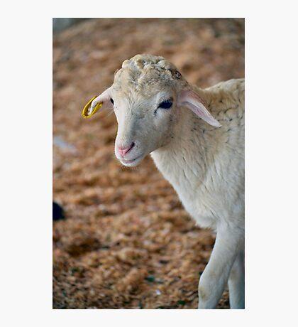 Soft as Lamb Photographic Print