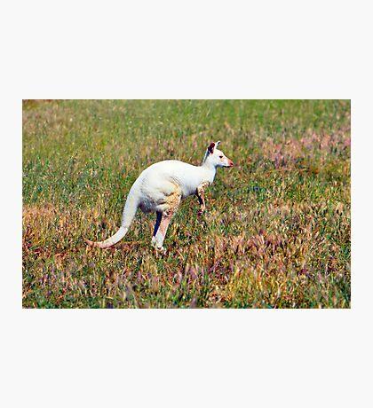 Albino Kangaroo Photographic Print