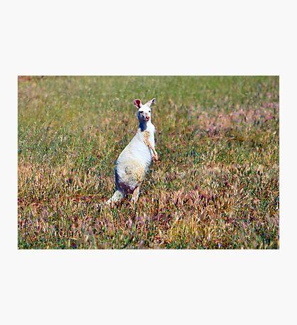 Albino Kangaroo 2 Photographic Print