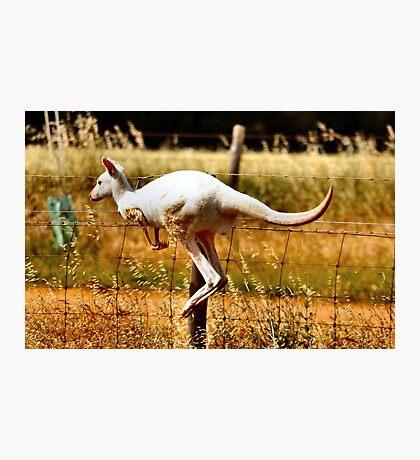 Albino Kangaroo 3 Photographic Print