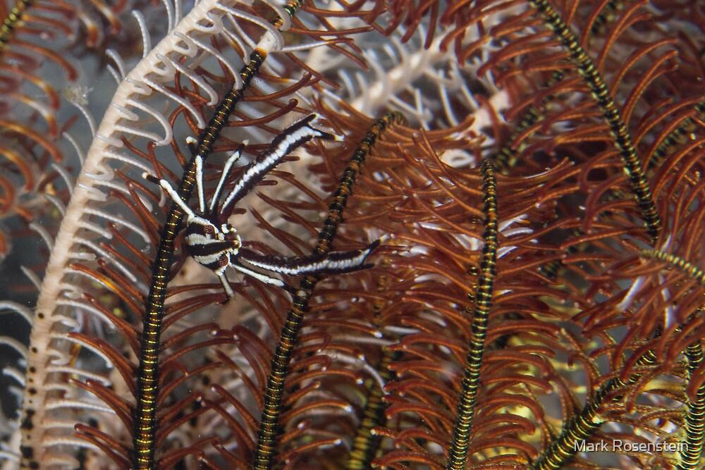Squat Lobster in Crinoid by Mark Rosenstein