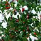 HOLLY BERRIES........need more entries