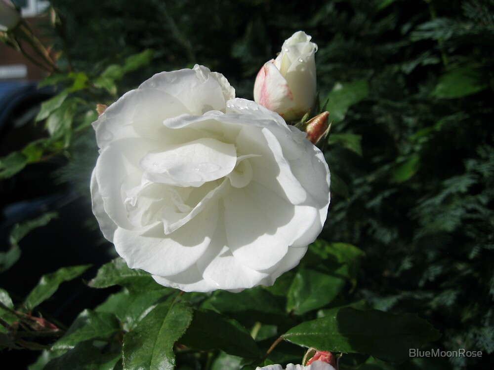 Snowy White Rose and Buds by BlueMoonRose