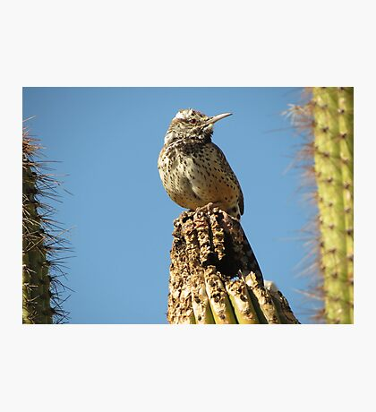 Cactus Wren on Lookout Photographic Print