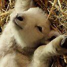relaxing lamb by Peta Hurley-Hill